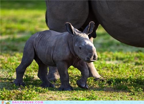Babies baby contest hippo hippopotamus hippos poll rhino rhinoceros rhinos squee spree - 4926294272