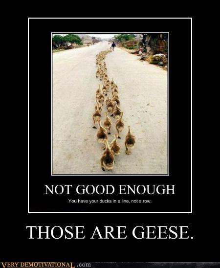 ducks,geese,hilarious,line,row