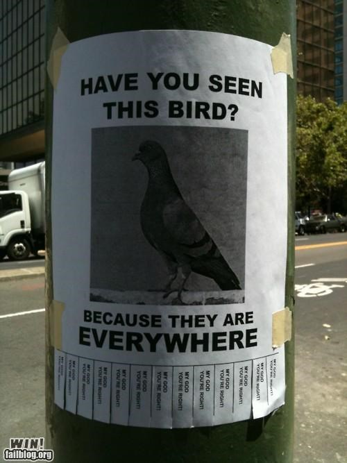 birds,clever,pigeons,signs,wanted poster