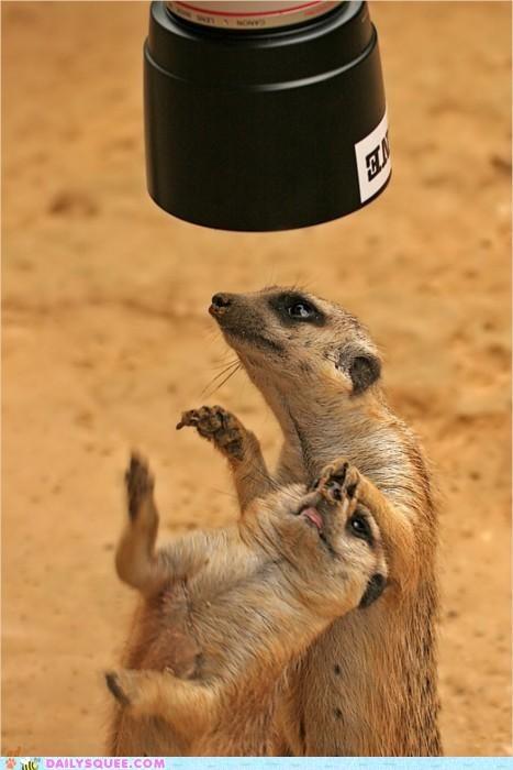 15 minutes acting like animals camera fame fighting meerkat Meerkats modeling photo shoot spotlight