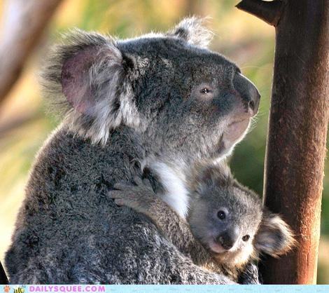 adorable baby child cuddling koala koalas mother permissible pun quality subject terrible