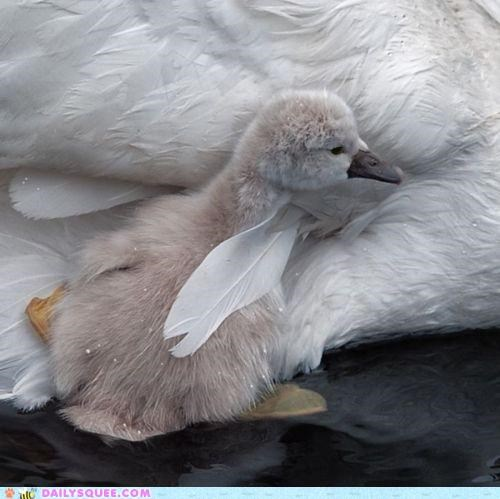 baby,comfort,comforting,cuddling,first,first time,mother,scary,swan,swans,swimming