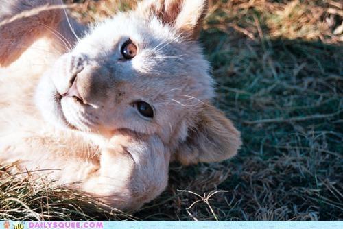 baby contemplating cub hakuna matata lion lion king stuff thinking white lion - 4930207488