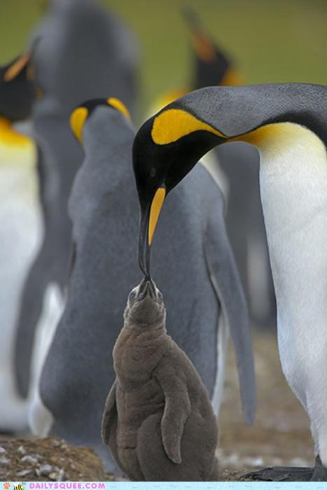 baby,chick,cute,dad,eating,Father,frump,frumpy,noms,penguin,penguins