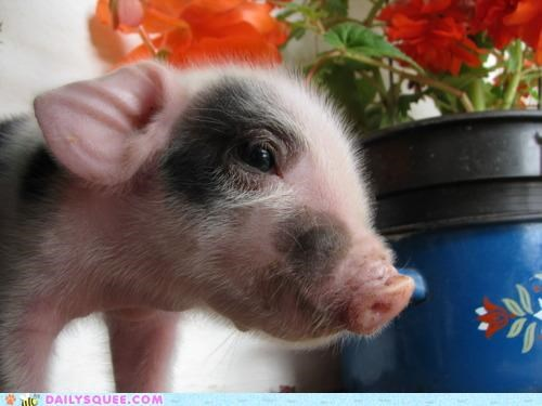 adorable baby cute pig piglet pun resume spots spotted spotty - 4930285568
