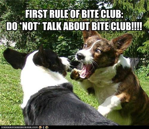 bite club,corgi,playing