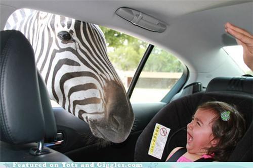 Babies babies making faces tantrums wildlife zebra - 4931878400