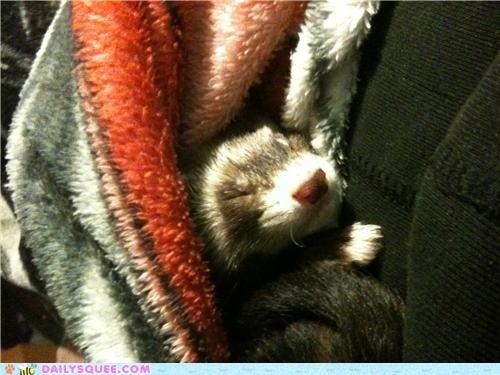 asleep baby buddy ferret friend need reader squees sleep sleeping snuggle - 4932451072