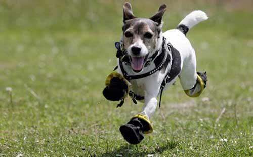 doggeh Heartwarming Tearjerker jack russell terrier - 4935002880