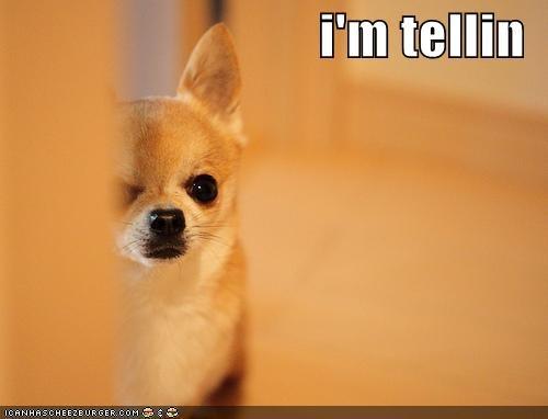 chihuaha im-telling whistleblower - 4936455424