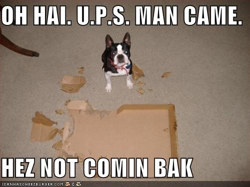 boston terrier,cardboard box,chewed up,package,ups man,what