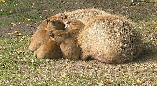 capybaras cute Video - 49413