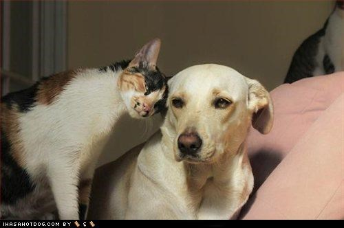 cat,friendship,kittehs r owr friends,labrador,lolcat