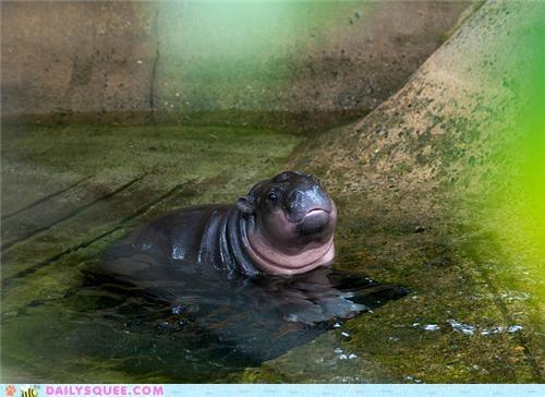 baby blissful contest happy hippo hippopotamus squee spree winner