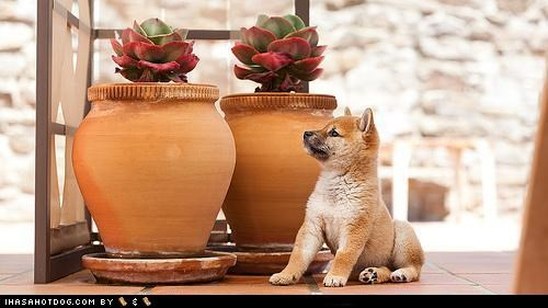 cyoot puppeh ob teh day,flower pots,outdoors,shiba inu,sunny day