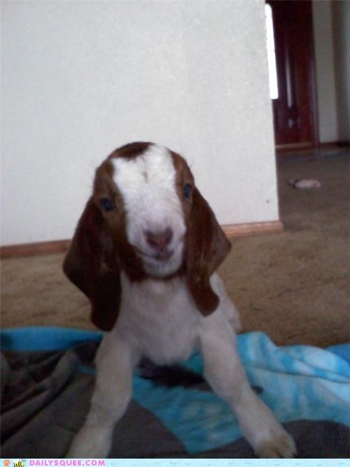adorable baby big biggest goat happy newborn reader squees smile smiling tiny - 4946638592