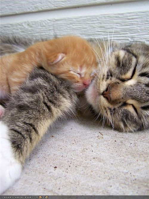 cyoot kitteh of teh day,kitten,mom,naps,sleeping,two cats