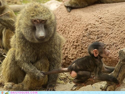 acting like animals baby discipline grabbing monkey monkeys mother punishment scolding spanking tail threat - 4947154944