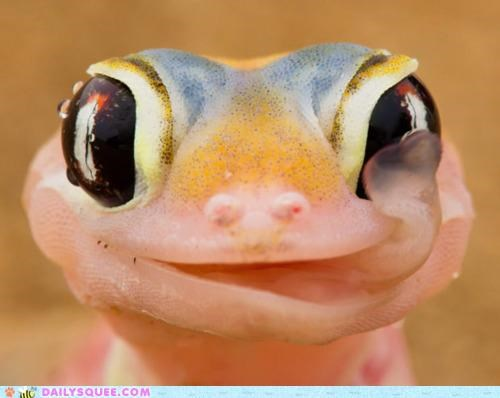 acting like animals delectable delicious eye gecko Hall of Fame licking taste tasting tongue