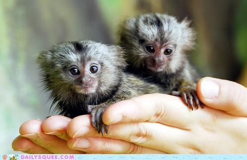 Babies,baby,bad,bad pun,marmoset,marmosets,pun,puns