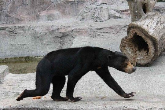 cute bear malayan bears funny - 4947205
