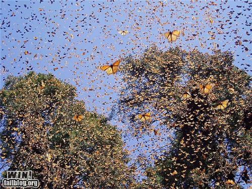 butterflies,mother nature ftw,swarm