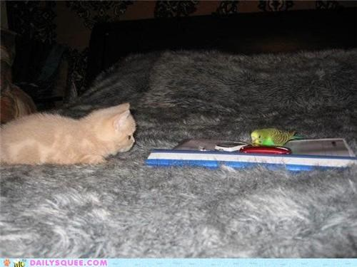 bird cat friends friendship Hall of Fame Interspecies Love kitten love parakeet playing tabby unlikely - 4949794560