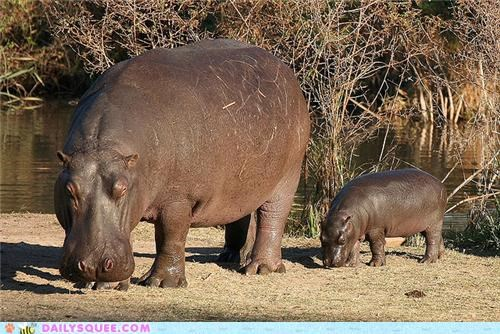 conclusion end hippo hippopotamus hippos imitating imitation squee spree - 4950735104