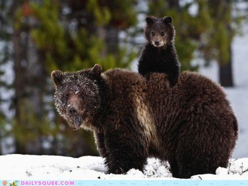 acting like animals annoying baby bear bears child cub energetic energy grizzly bear grizzly bears mom - 4950886144