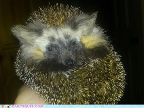best ever,challenge,contest,egyptian hedgehog,hedgehog,name,reader squees