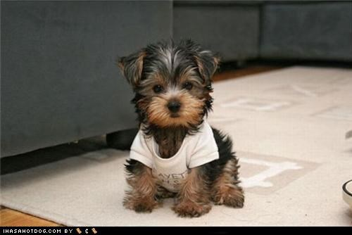 clothing,cyoot puppeh ob teh day,puppy,T.Shirt,yorkshire terrier