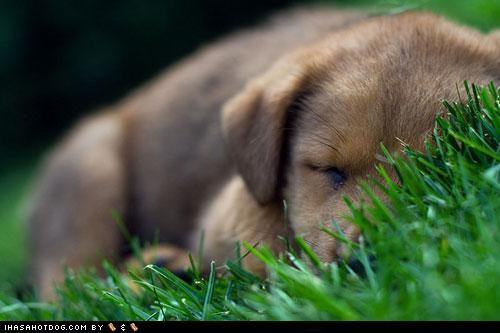 cyoot puppeh ob teh day,grass,napping,outdoors,puppy,whatbreed