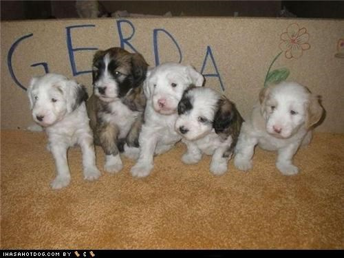 cyoot puppeh ob teh day,mixed breed,puppies,siblings,whatbreed