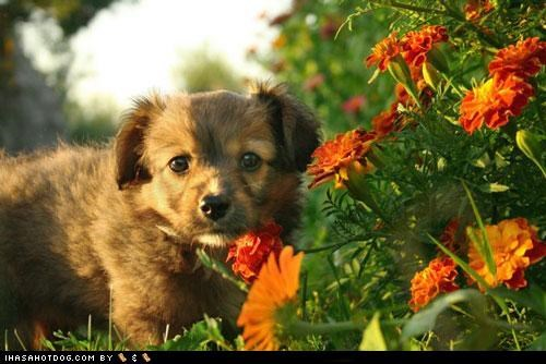 cyoot puppeh ob teh day flowers norfolk terrier outside sunny day