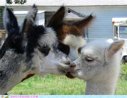 adorable alpaca alpacas Hall of Fame kissing lips Movie now pun quote squee overload the horror title words - 4954512384