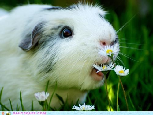Flower flowers food guinea pig Hall of Fame lolwut nomming noms omnomnom overthinking preparing sentiment - 4954537728