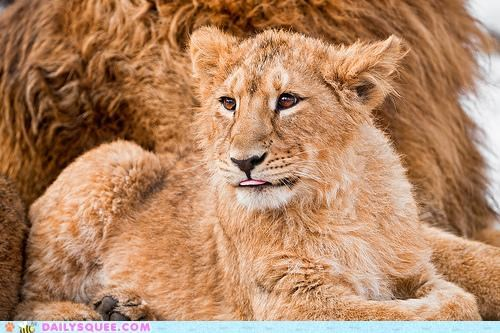 adorable baby bad hair day cub furball jealous lion lions - 4954558976