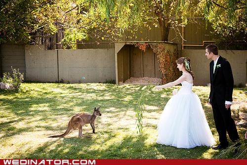 animals,australia,bride,funny wedding photos,groom,kangaroo