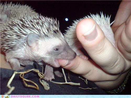 baby,biting,fingers,frodo,hedgehog,Lord of the Rings,meme,name,nomming,quote,reader squees,squee spree