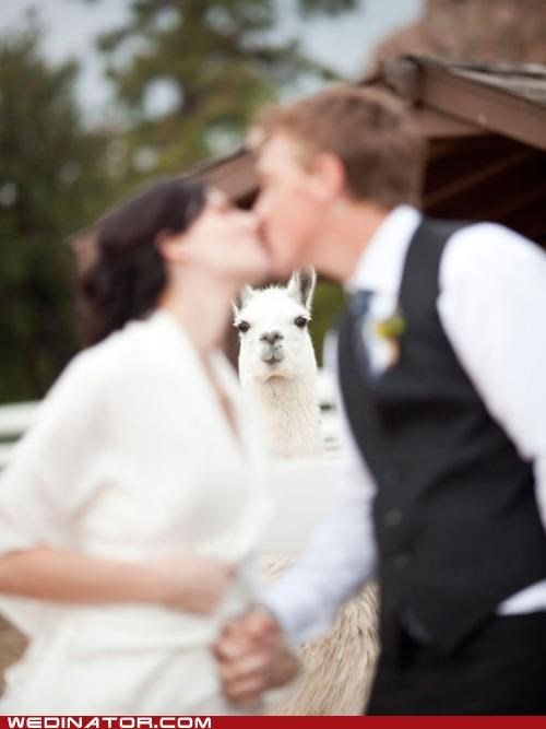 animals,bride,funny wedding photos,groom,Hall of Fame,KISS,llama