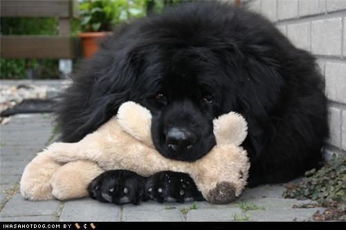 goggie ob teh week newfoundland plush toy resting - 4962701824