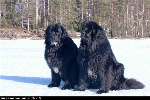 friends goggie ob teh week newfoundland outdoors snow - 4962818816