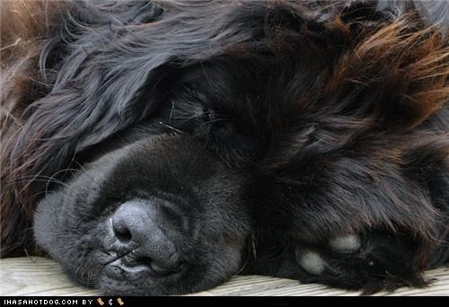 exhausted goggie ob teh week newfoundland sleeping - 4962828288