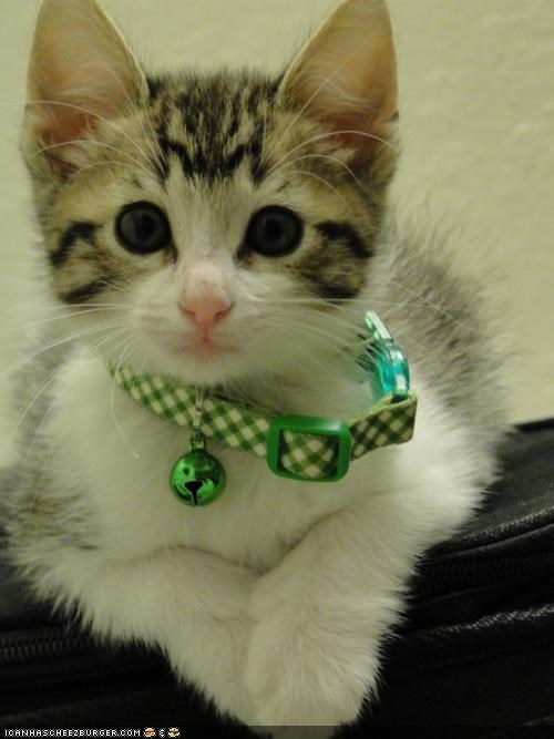 bell collar cyoot kitteh of teh day Growing too big - 4964001280