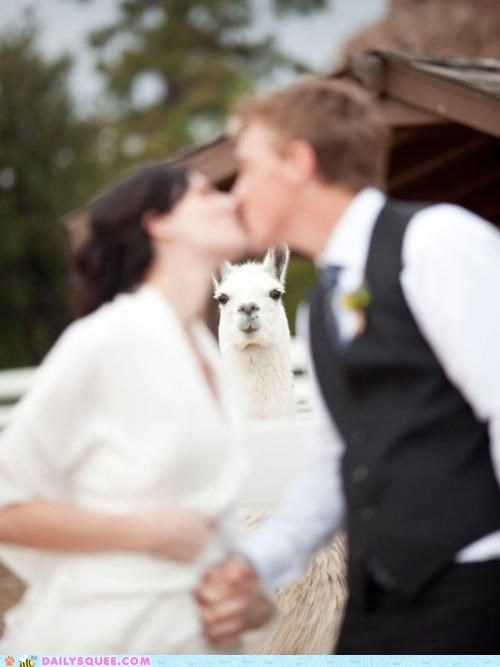 acting like animals llama lolwut photobomb rambling small talk wedding - 4964097024