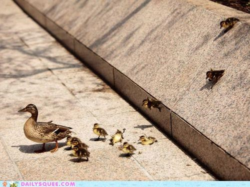 Babies baby duck ducklings ducks line mallard mallards marching parade synonyms - 4964126464