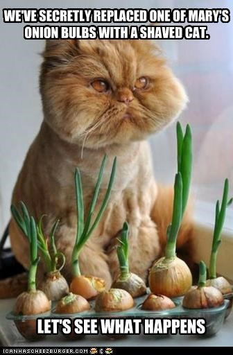 bulbs caption captioned cat happens lets-see onion replaced secretly shaved tabby what - 4964534016