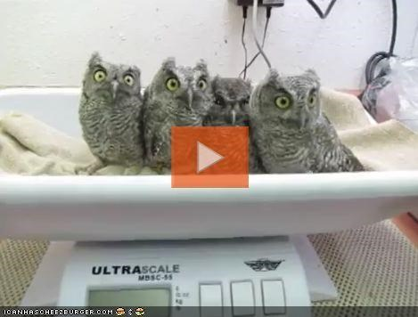 around the interwebs,college humor,owls,Screech Owls,Video