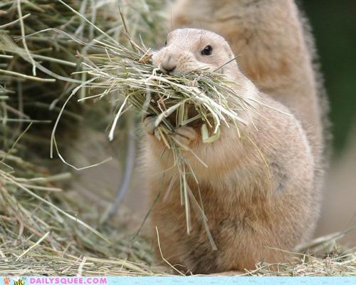acting like animals challenge mouthful noms prairie dog - 4967382784