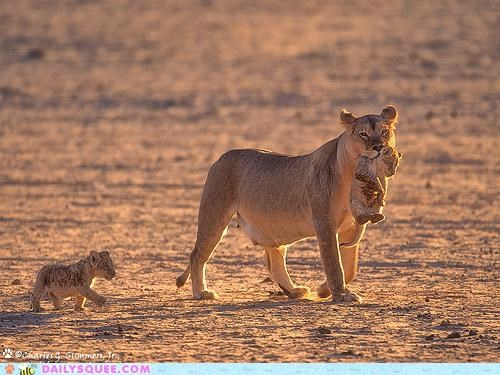 baby cub cubs days old Hall of Fame lion lioness lyrics song swing low sweet chariot tiny - 4967406080